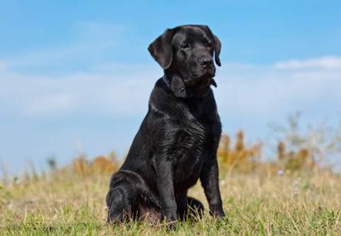 cane-labrador-nero